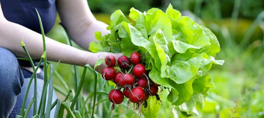 Cultivo del r bano siembra riego y cuidados huerta for Que plantas se siembran en un huerto