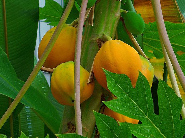 Papaya: Condiciones para su cultivo en el hogar