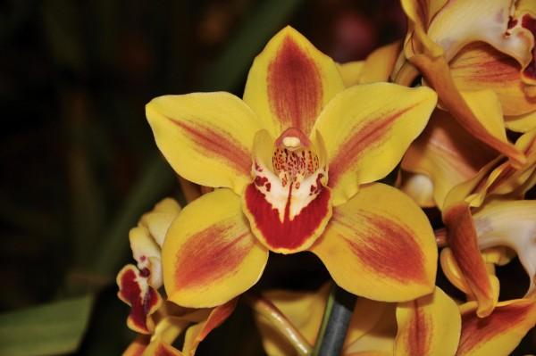 Orquídeas: Cultivo y cuidados del Cymbidium