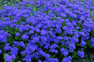 Ageratum houstonianum: Cultivo, riego y cuidados