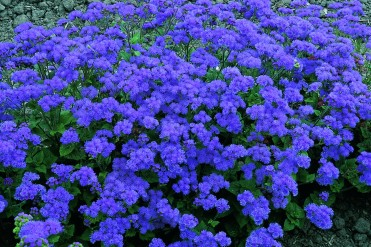 ageratum__leilani_blue_1