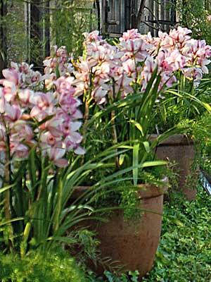 Orqu deas cultivo y cuidados del cymbidium flores flor for Cuidados orquideas interior