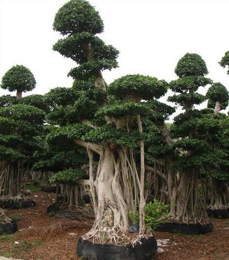 Ficus microcarpa cultivo riego y cuidados generales - Variedades de ficus ...