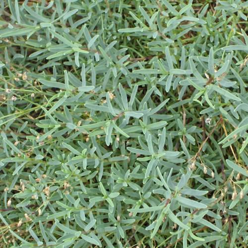 Plantas tapizantes una alternativa al cl sico c sped - Como plantar cesped en el jardin ...