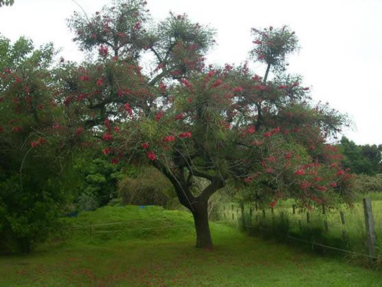 El ceibo cultivo suelo y poda riego y cuidados arboles for Arboles plantas y flores