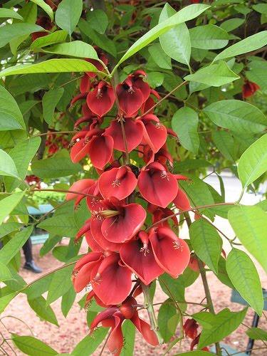 El ceibo: Cultivo, suelo y poda, riego y cuidados