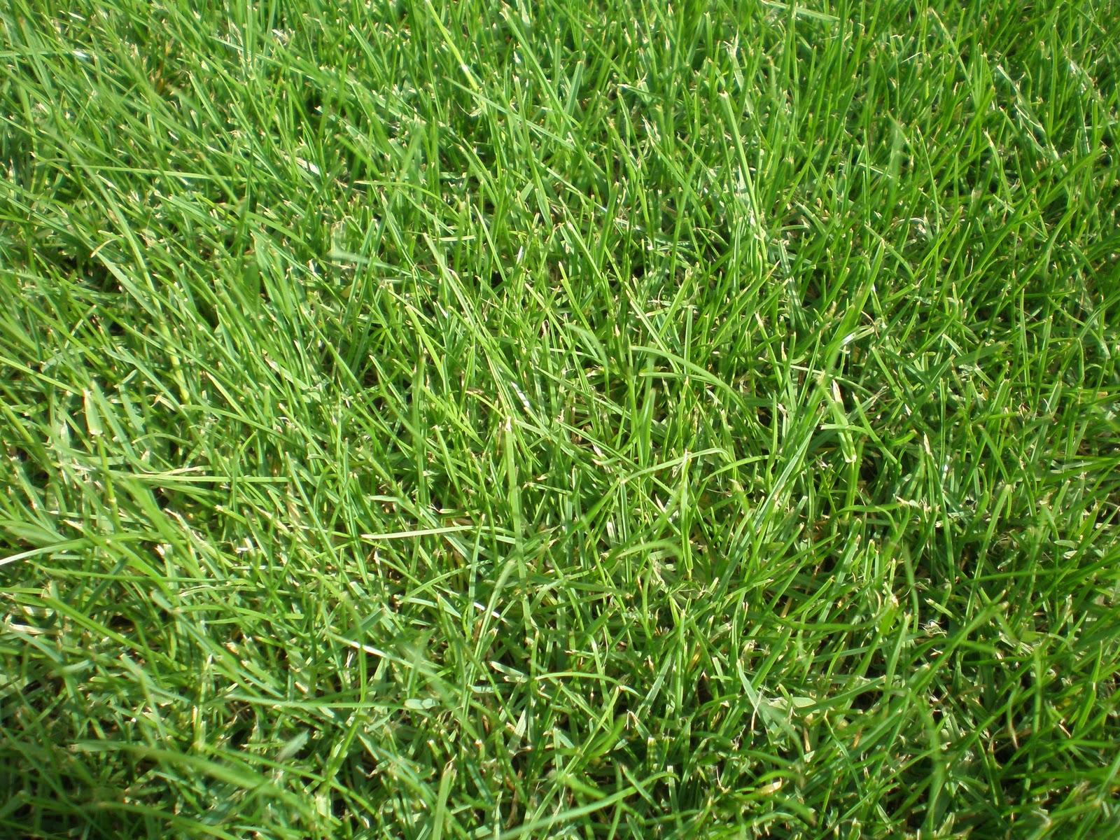 C mo se realiza la resiembra del c sped cesped flor de - Como plantar cesped en el jardin ...