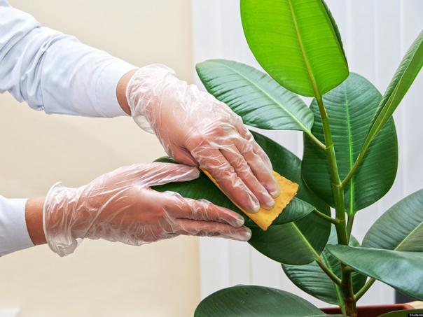 Plantas de interior: Consejos para mantenerlas limpias