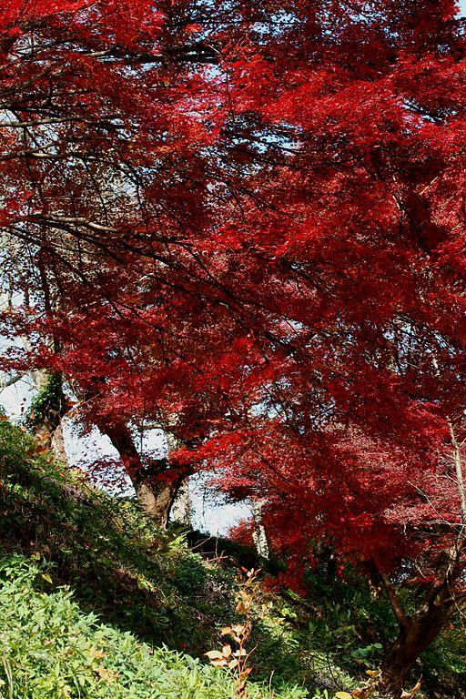 Arce japon s cultivo riego y cuidados arboles bonsai - Arce japones cuidados ...