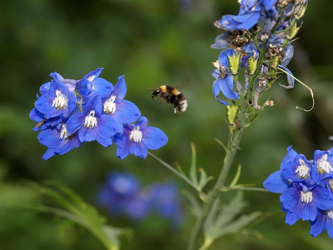 Espuela de caballero: Cultivo, riego y cuidados