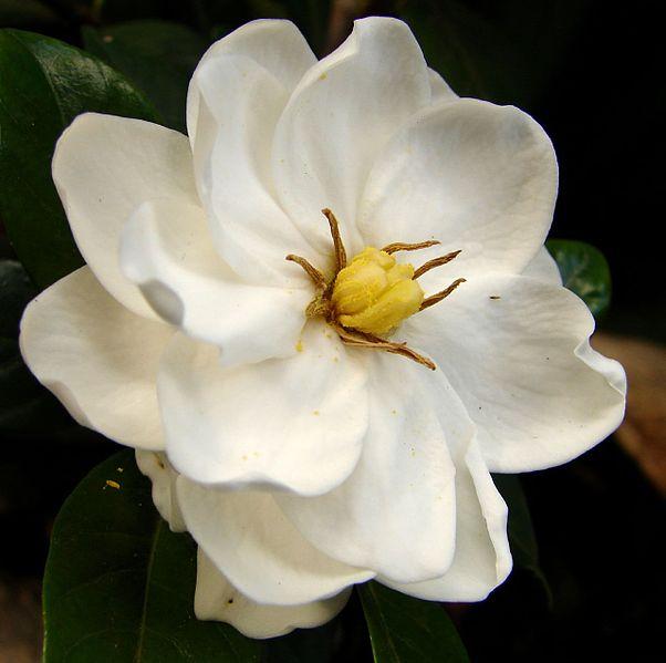 Flor de la gardenia (Foto: Louise Docker)