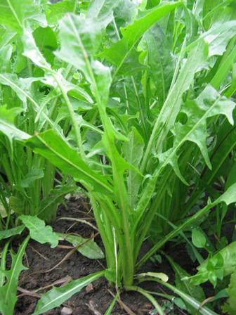 Plantas medicinales la achicoria plantas medicinales for Planta decorativa con propiedades medicinales crucigrama