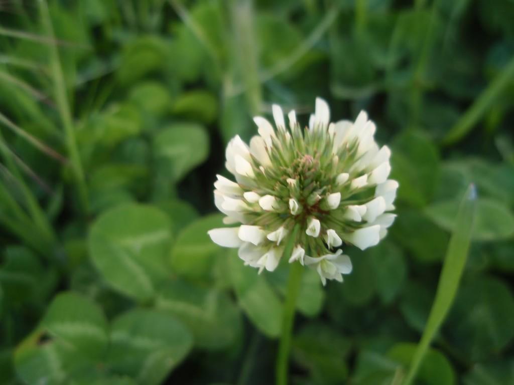 flor trebol blanco