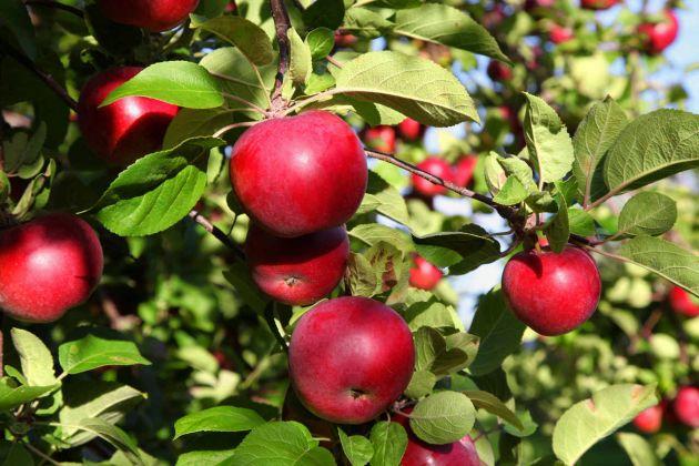 Cultivo de manzano: Suelo, riego y cuidados