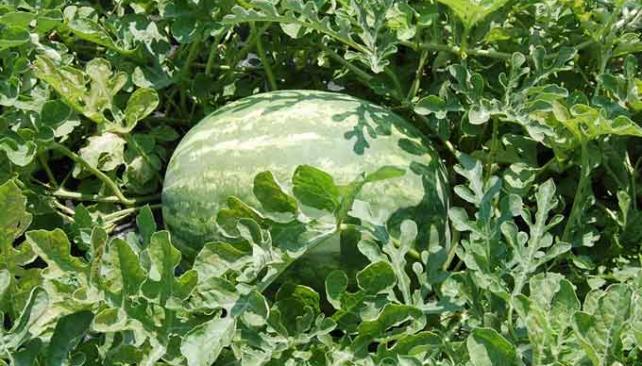 sandía: cultivo, riego y cosecha frutales - flor de planta | flor