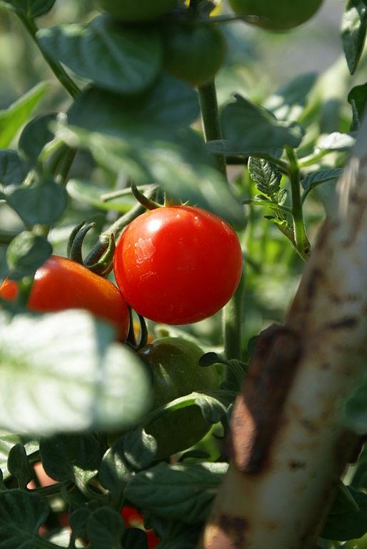 Tomate cherry su cultivo en macetas huerta flor de planta flor de planta - Tomates cherry en maceta ...