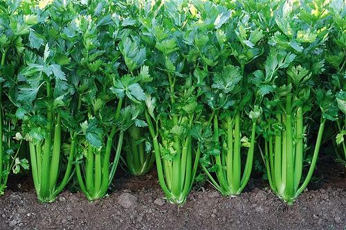 apio: cultivo, riego y cosecha huerta - flor de planta | flor de