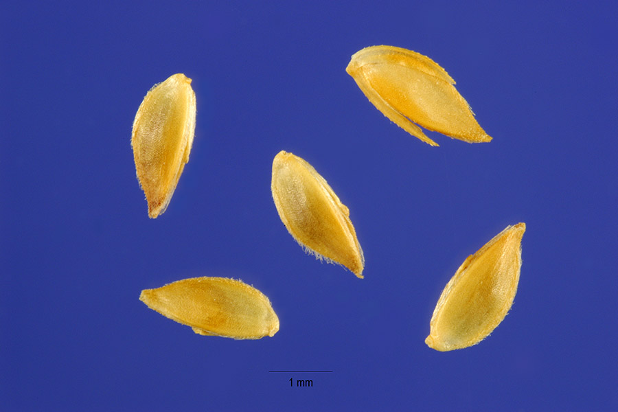 bermuda grass_USDA_2