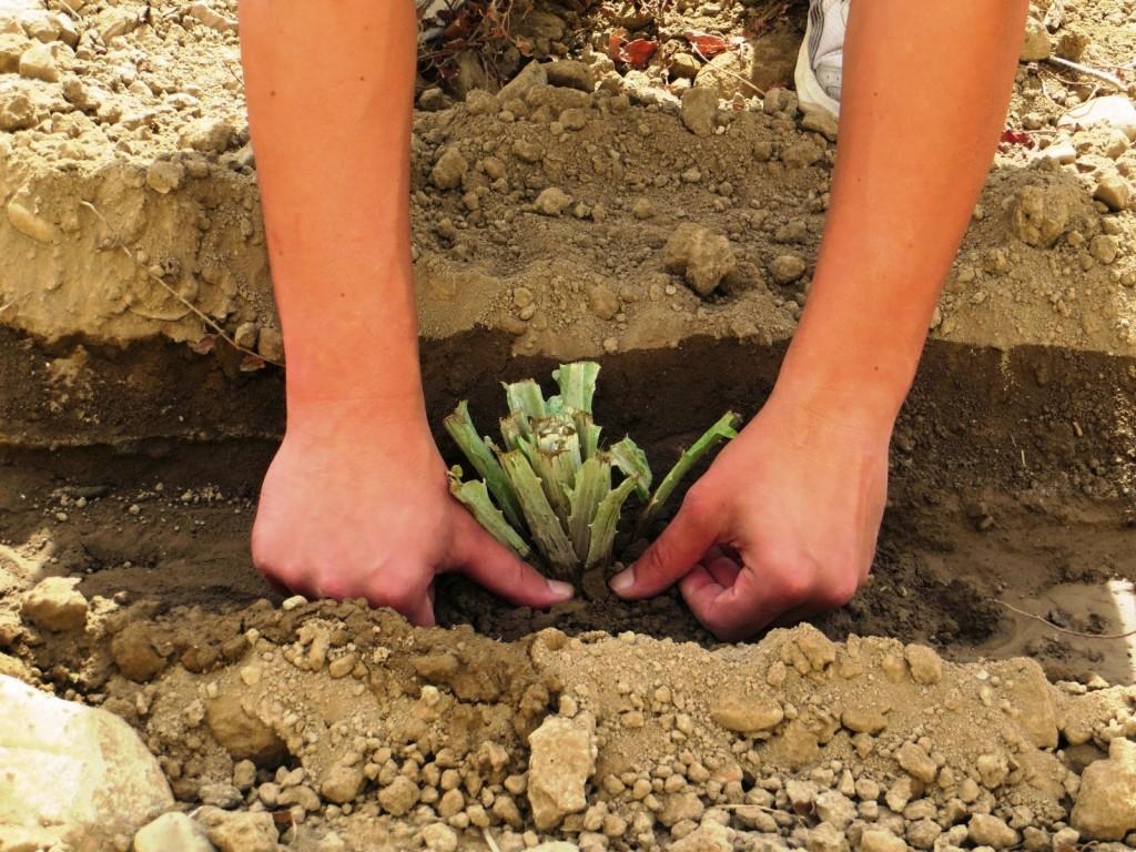 cultivo alcachofa