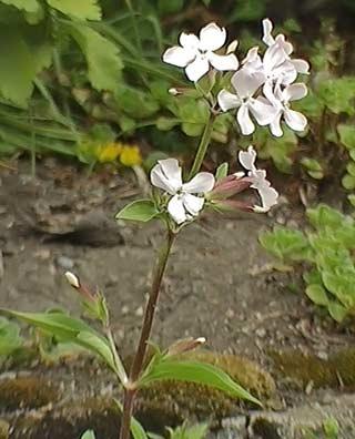 Saponaria: Cultivo y aprovechamiento para la elaboración de jabón