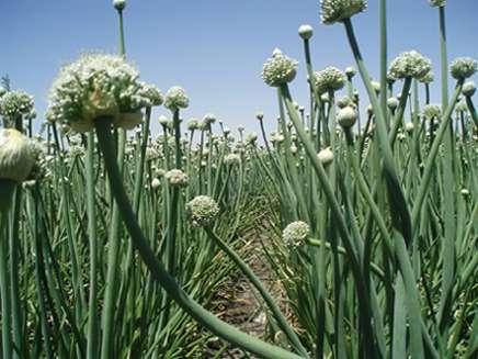 semilla cebolla