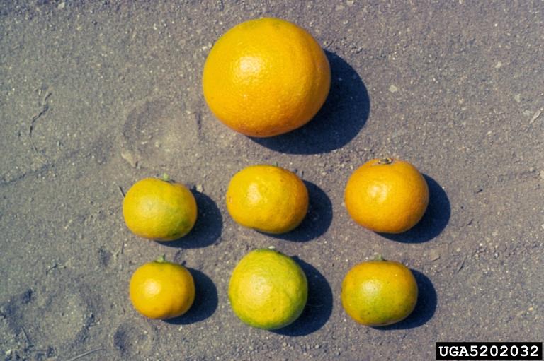 Naranja de un árbol sano (arriba), comparada con las de uno enfermo.