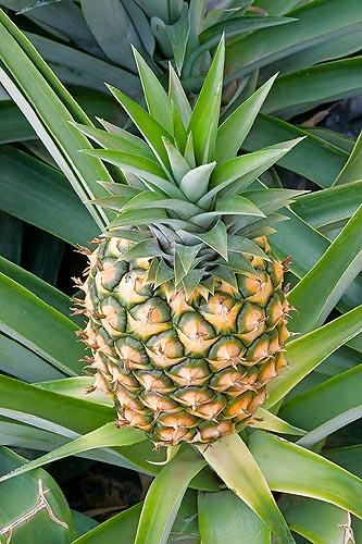 A/17/31 Ananas comosus