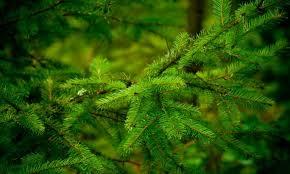Cómo cultivar tu propio árbol de navidad: especies y cuidados