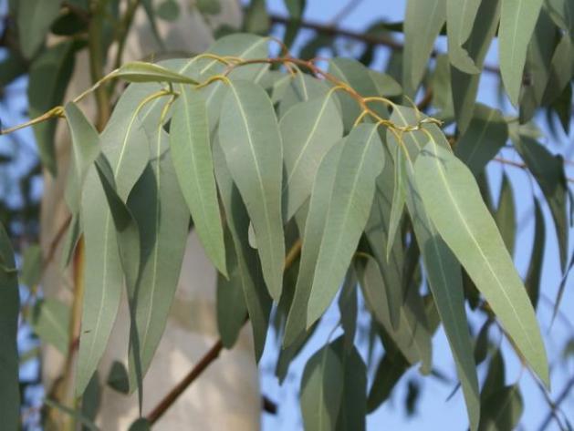 eucalipto1