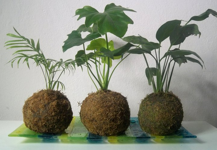 Kokedama: Realización, cuidados y riego Plantas Interior - Flor de ...