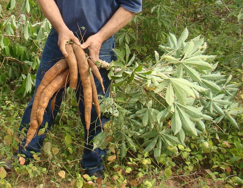 Mandioca: Cultivo, suelo y cuidados