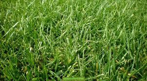 Cómo mantener tu césped inglés, o raygrass, divino todo el año