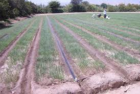 Características del riego por surcos: su implementación en los cultivos