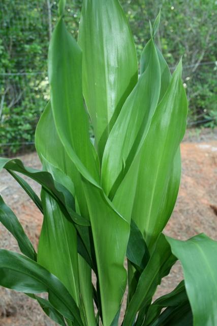 Aspidistra cultivo riego y cuidados plantas interior - Cuidado de plantas de interior ...