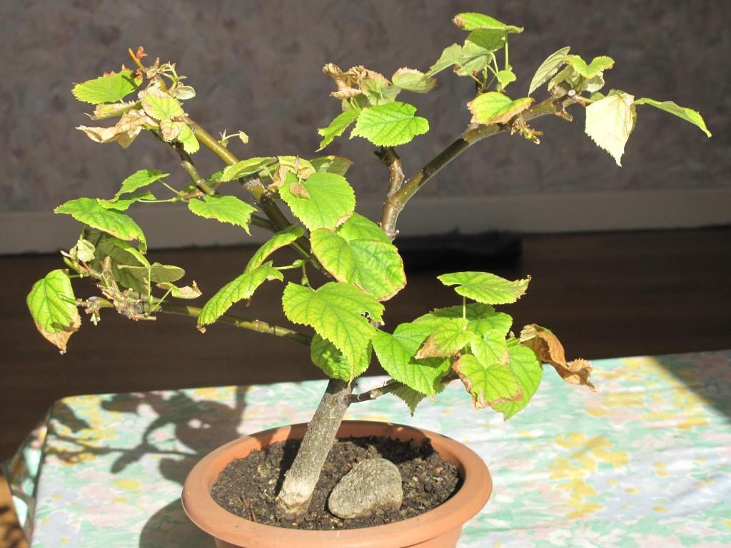 clorosis_bonsai