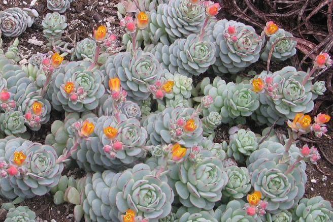 Echeveria: Cultivo, riego y cuidados Jardin, Macetas, Plantas - Flor ...