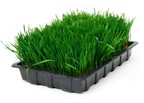 pasto de trigo1