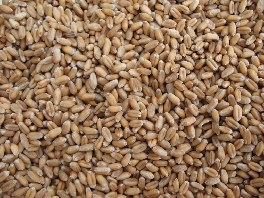 semillas trigo