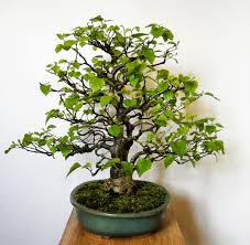 bonsai abedul