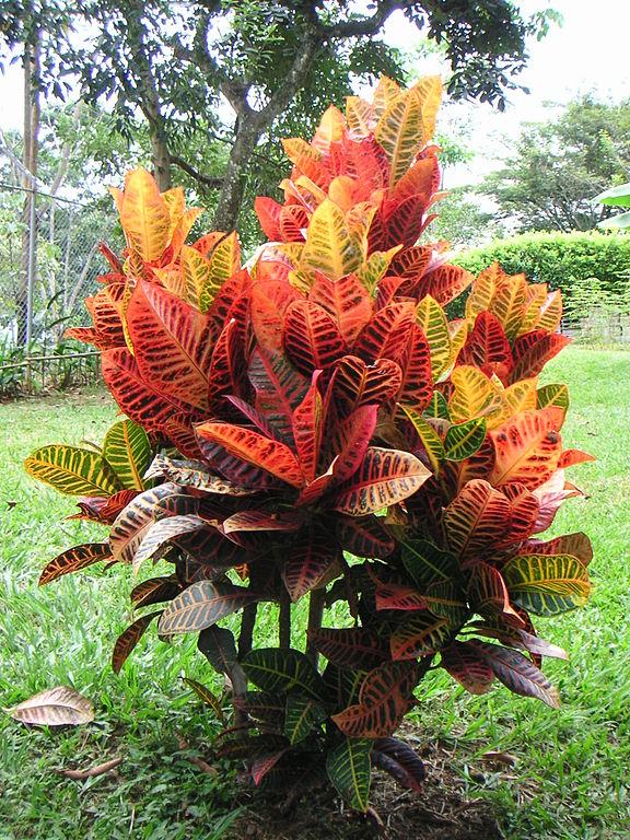 Crotón (Codiaeum variegatum): Cultivo, riego y cuidados