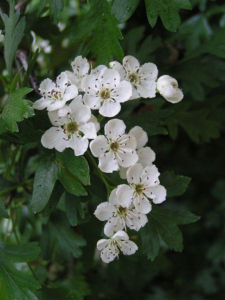 Espino blanco: Multiplicación, cultivo y cuidados