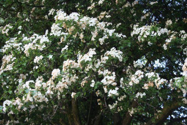Espino blanco multiplicaci n cultivo y cuidados arboles for Arboles plantas y flores