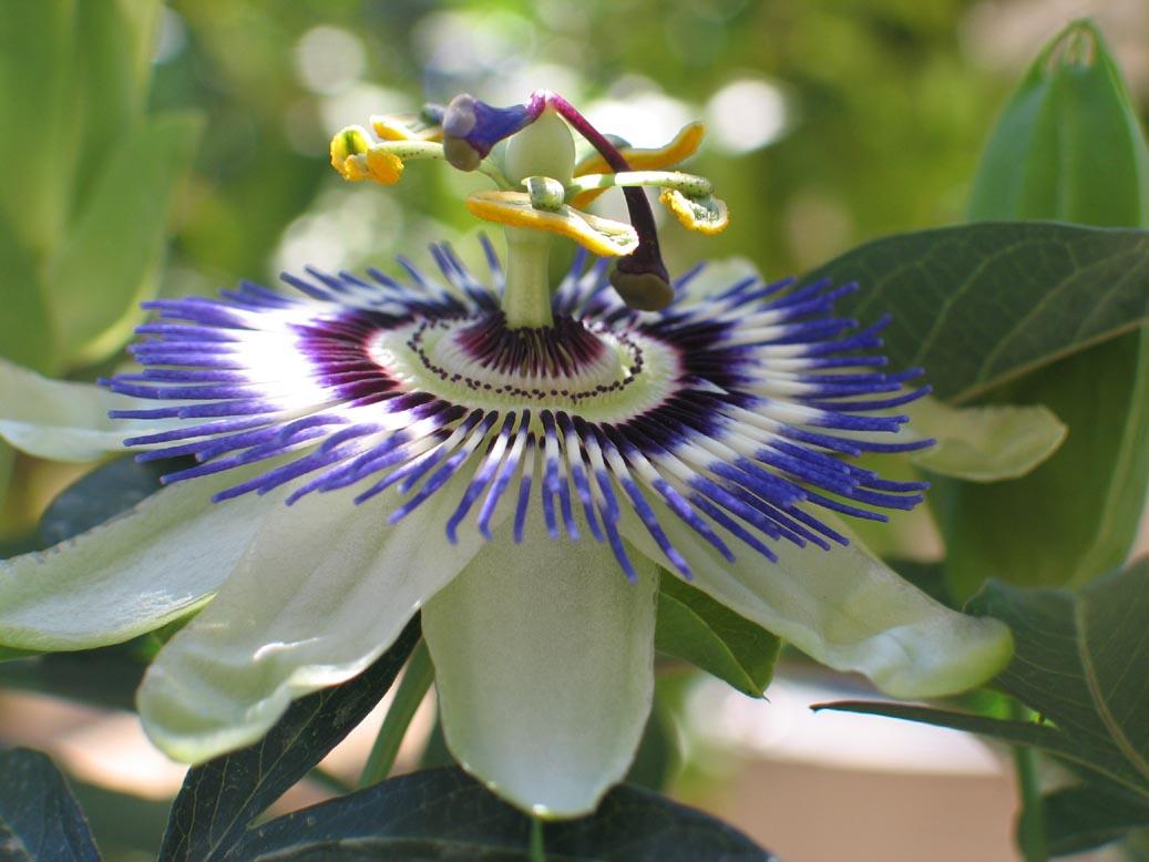 La pasionaria: Cultivo, multiplicación y cuidados