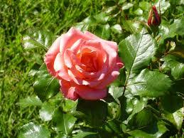 plagas en rosales
