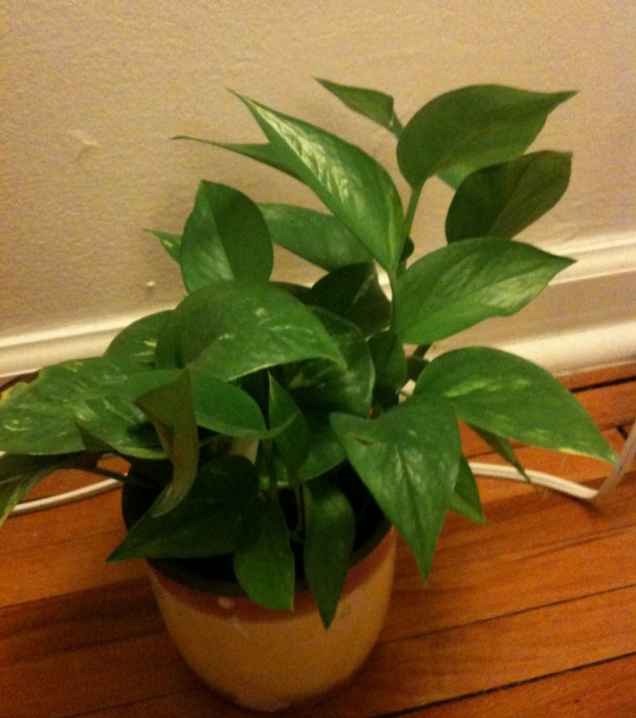 Potus cultivo riego y cuidados plantas interior flor - Plantas de interior tipos ...