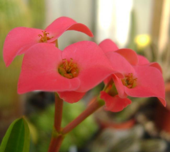 Euphorbia milii var. vulcanii