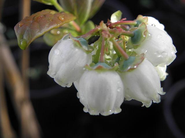 arándano azul: cultivo, riego y cuidados frutales - flor de planta