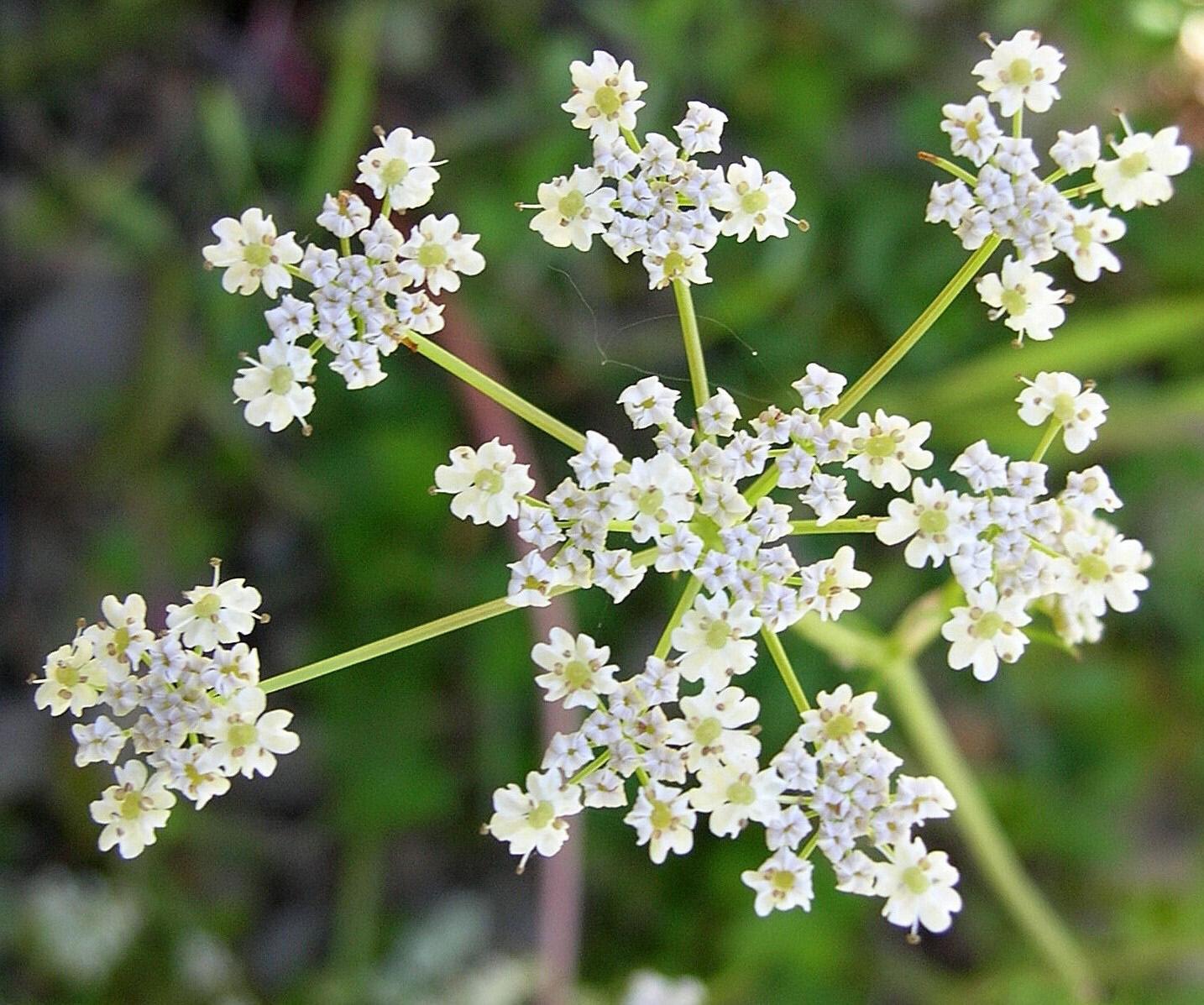 Comino: Cultivo, riego y cosecha