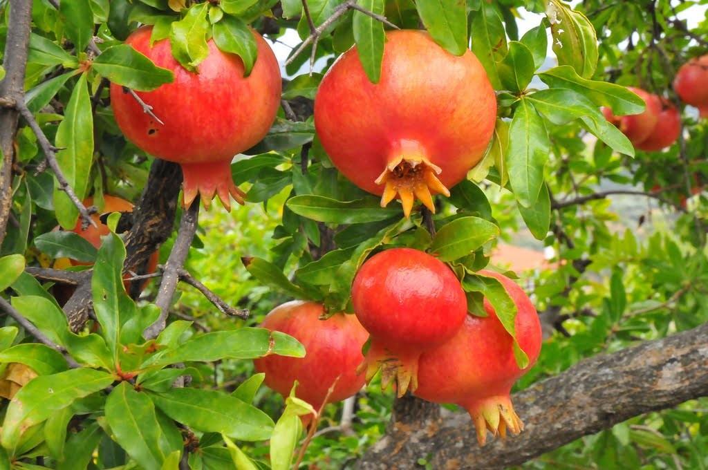 Granado cultivo suelos y riego frutales flor de planta for Plantas frutales