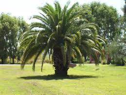 palmera enana datilera
